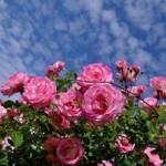 roses-411761_tate200