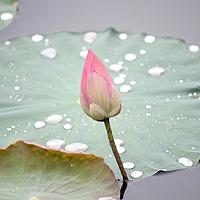 lotus-214622_220